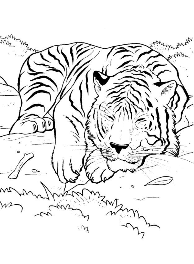 амурский тигр раскраска картинки кипящий бульон добавляем